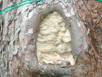 natural tree cavity