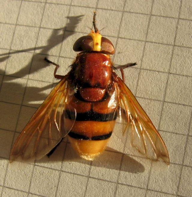 hornissenschwebfliege groe waldschwebfliege riesen hummelschwebfliege. Black Bedroom Furniture Sets. Home Design Ideas